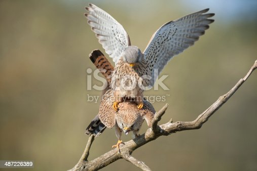 Mating Common Kestrels (Falco tinnunculus) XXXL