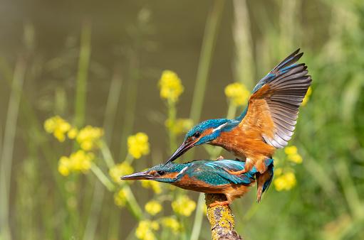 Mating common kingfisher