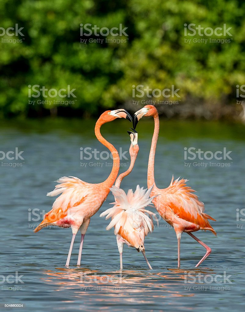 Mating dance Caribbean flamingos ( Phoenicopterus ruber ruber ) stock photo