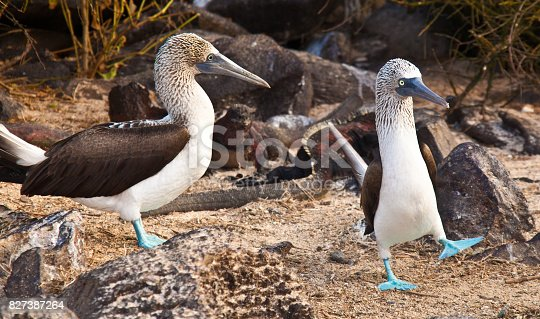 A male blue footed booby dances to attract the nearby female