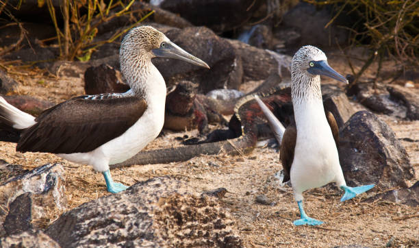 Mating Dance of Blue Footed Booby stock photo