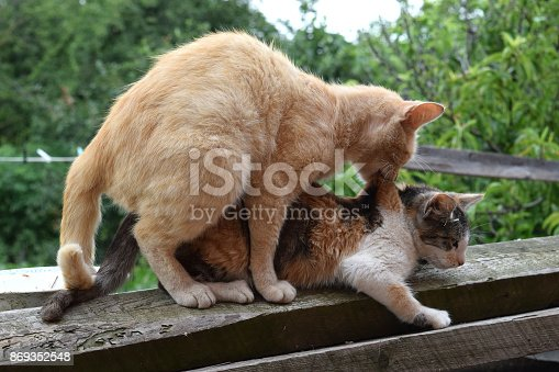 istock Mating domestic cats 869352548