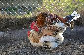 Mating swedish flower hen rooster and Sulmtaler hen.