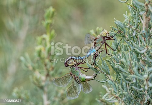 Mating dragonflies on sage in Colorado in Coal Creek, CO, United States