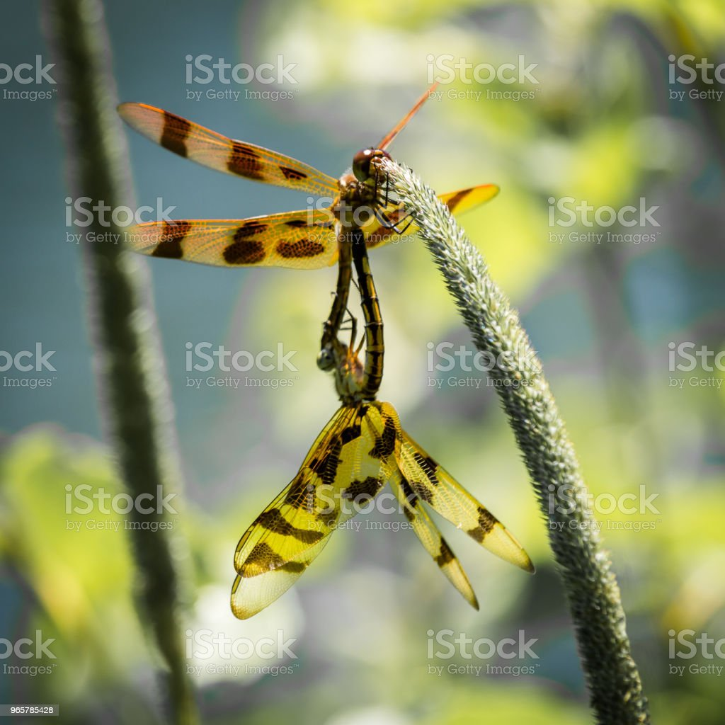 Mating Dragonflies - Royalty-free Animal Stock Photo