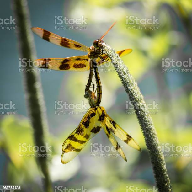 Mating Dragonflies Stock Photo - Download Image Now