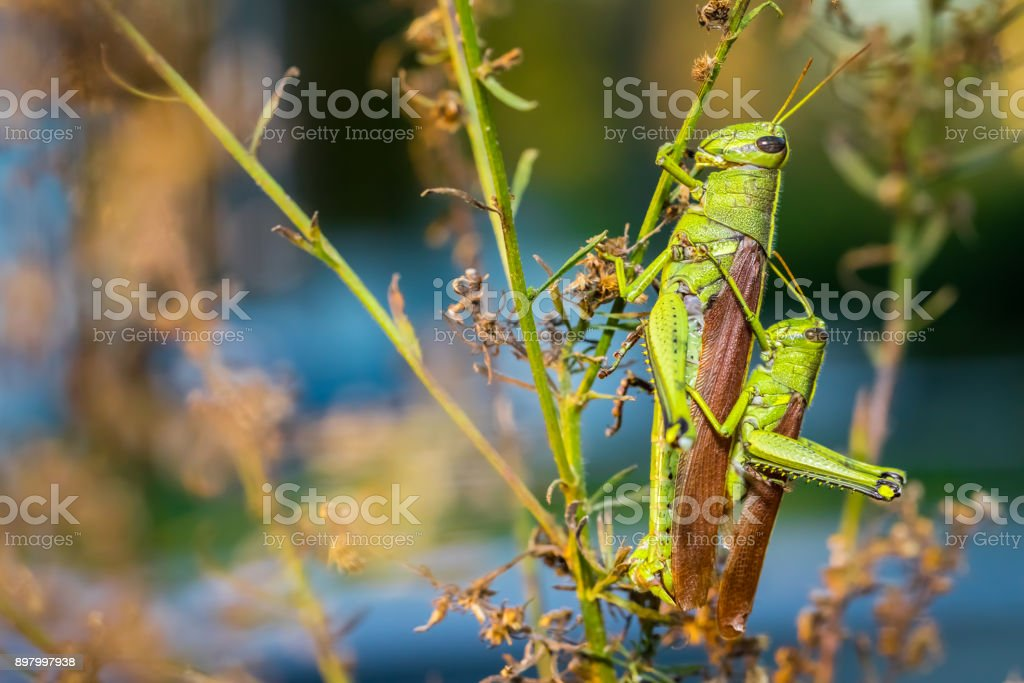 Mating Green Grasshoppers stock photo