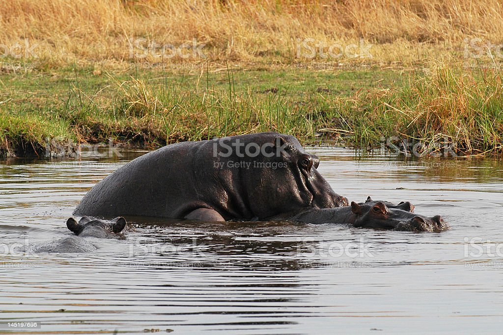 Mating Hippos in Moremi stock photo