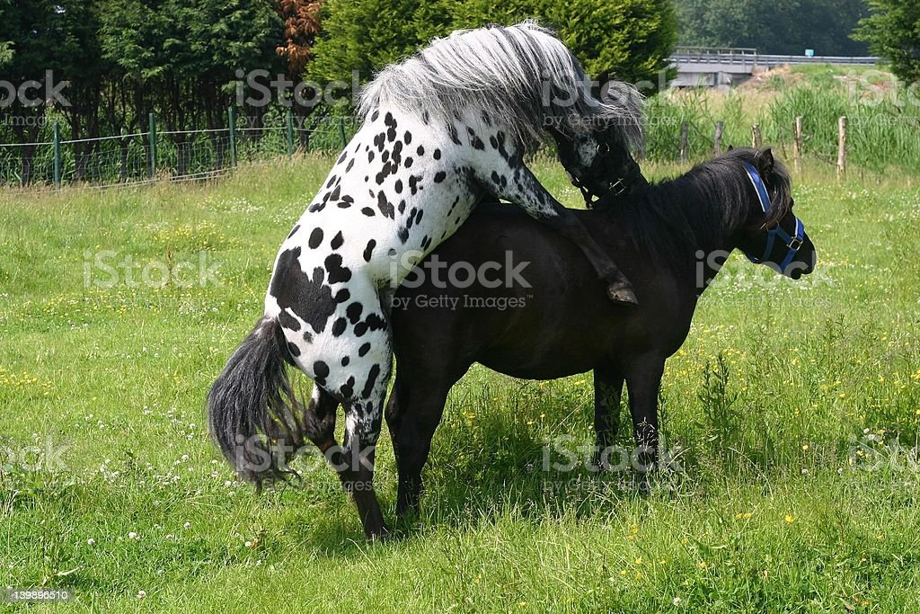 Mating horses stock photo