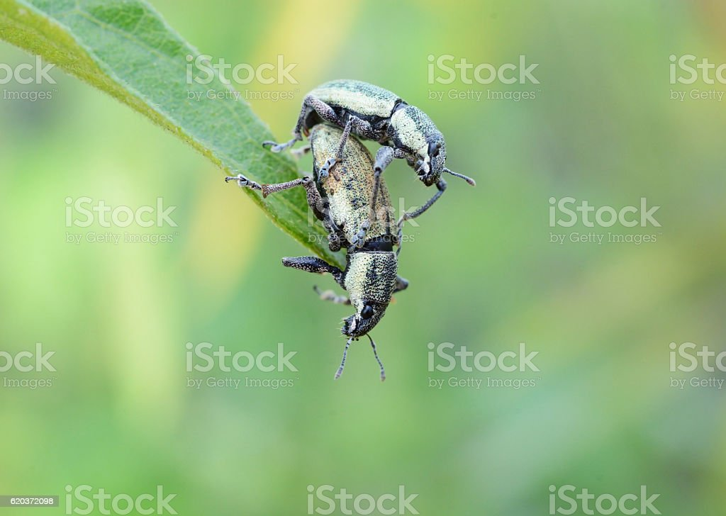 mating insect couples on green leaf zbiór zdjęć royalty-free