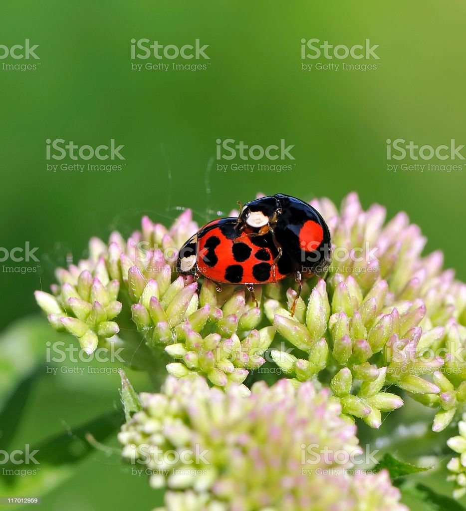 Mating ladybugs royalty-free stock photo