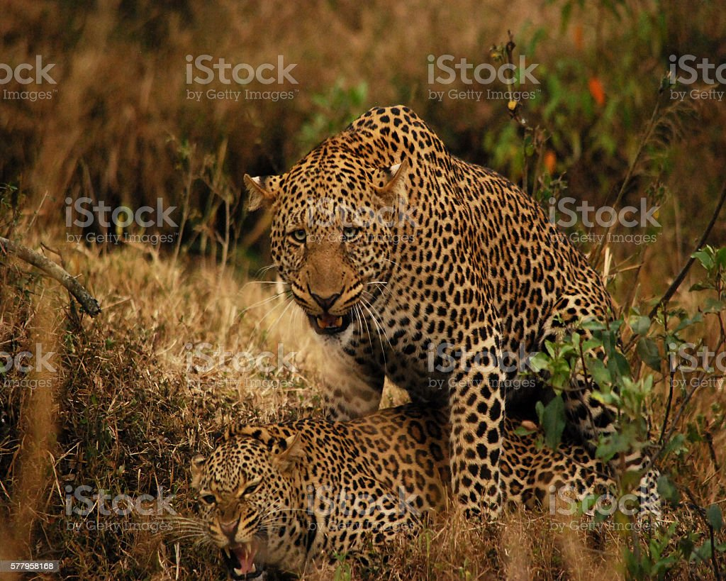 Mating Leopards stock photo
