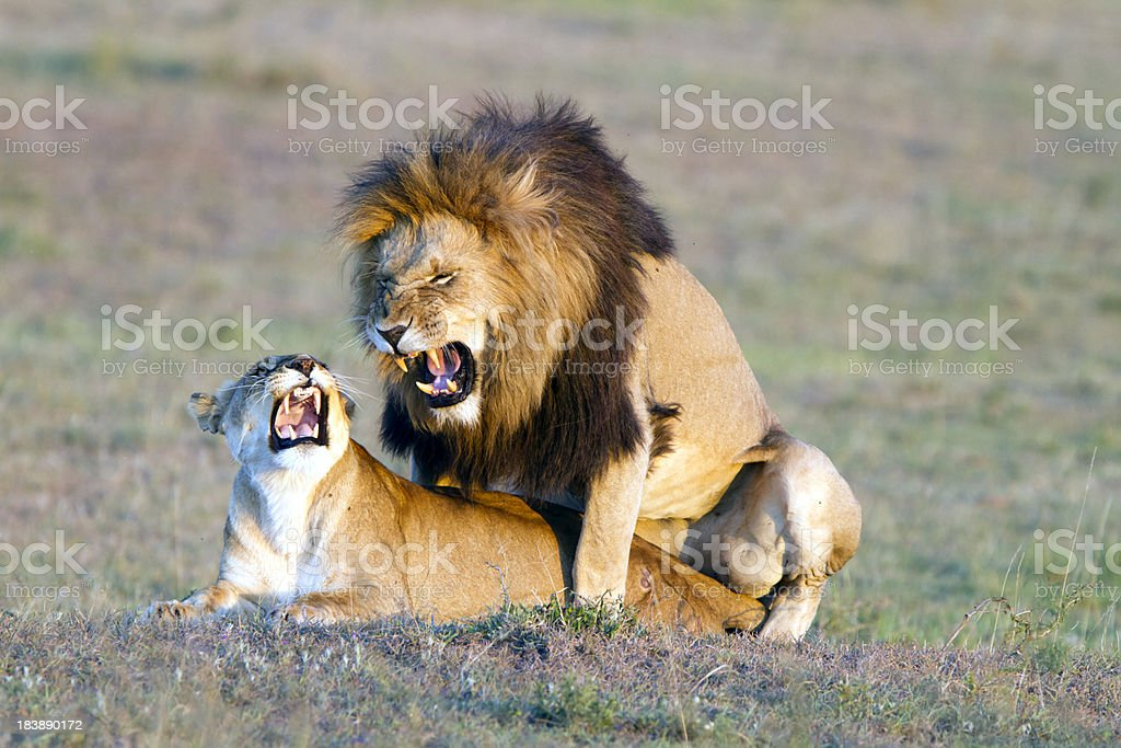 Mating lions, Masai Mara, Kenya stock photo