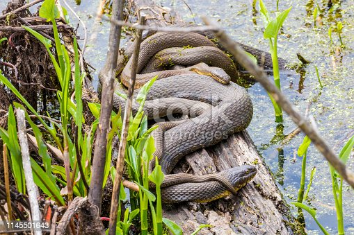 Mating Water Snakes