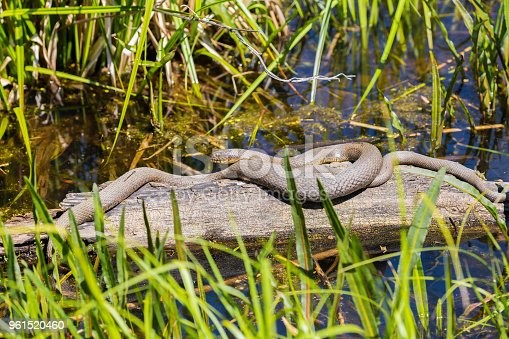 Mating Water Snakes in a swamp.  The female is larger then the male.  The males head is hidden.