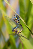 Mating migrant hawkers hanging on reed grass.