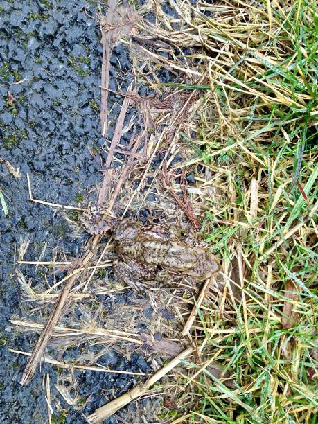 mating natterjack toads - mcdermp stock photos and pictures