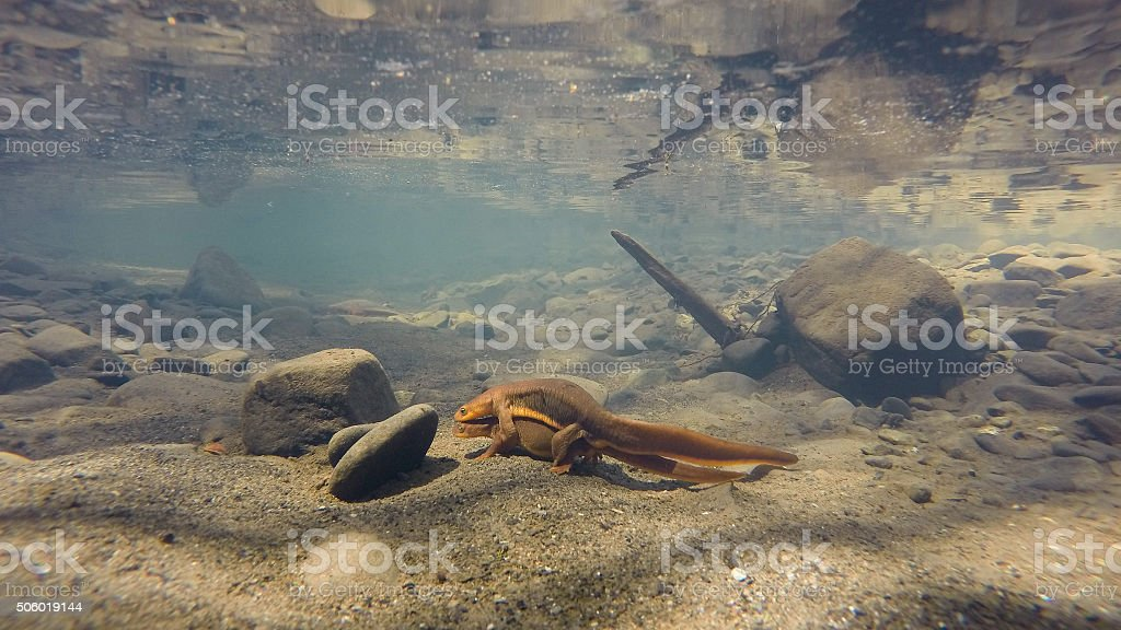 mating newts under water stock photo