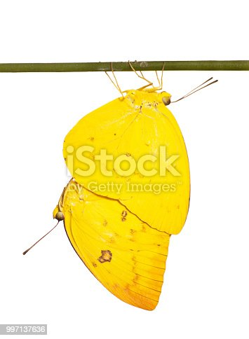 Mating orange emigrant butterflies, Catopsilia scylla, on a stick are isolated on white background. A male butterfly is hanging below a female one, both in bright yellow color