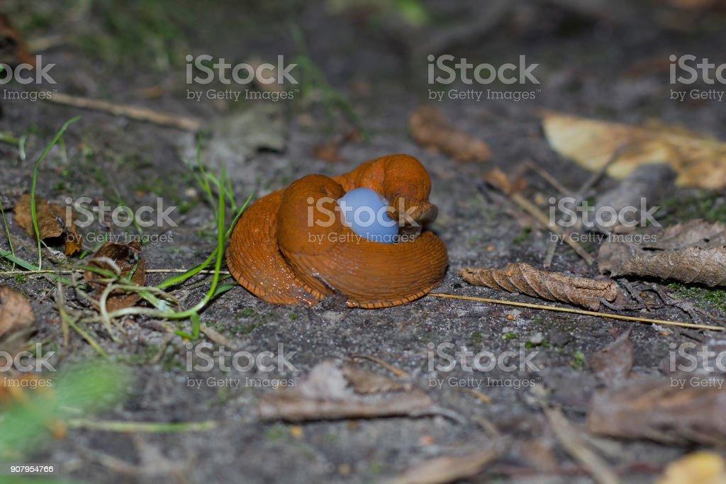 Mating pair of brown slugs on ground. Two land slug side view stock photo