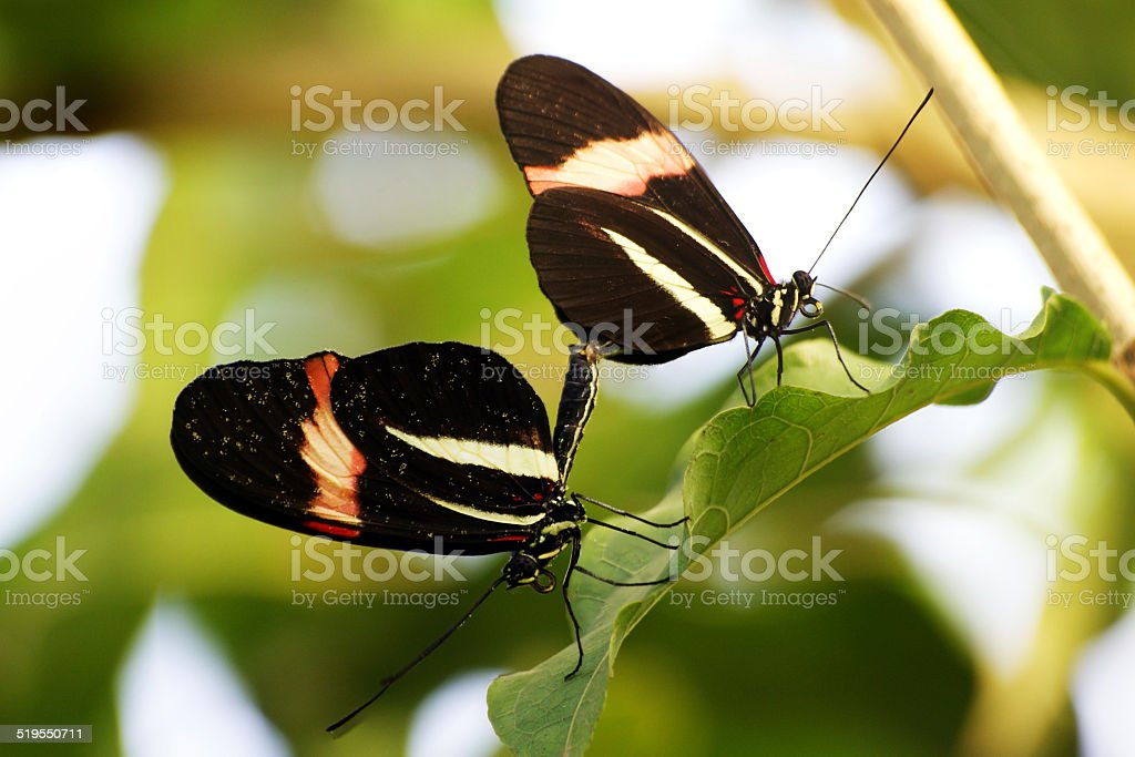 Mating pair of Butterflies stock photo