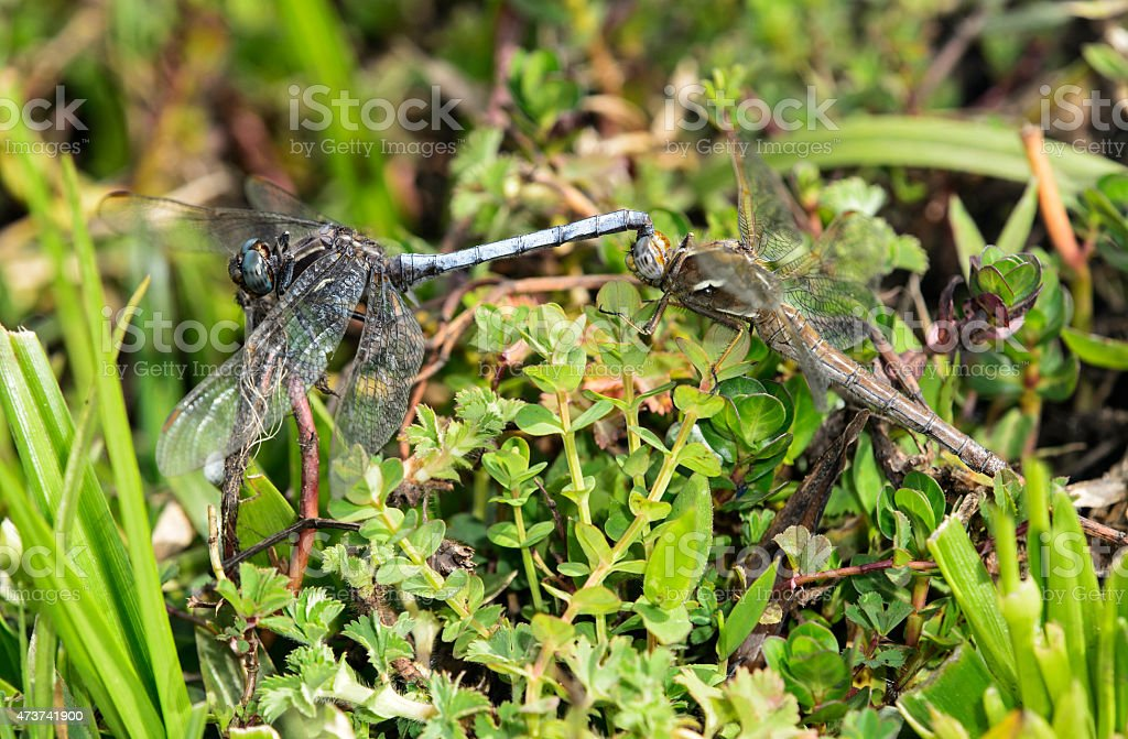 Mating pair of dragonflies stock photo