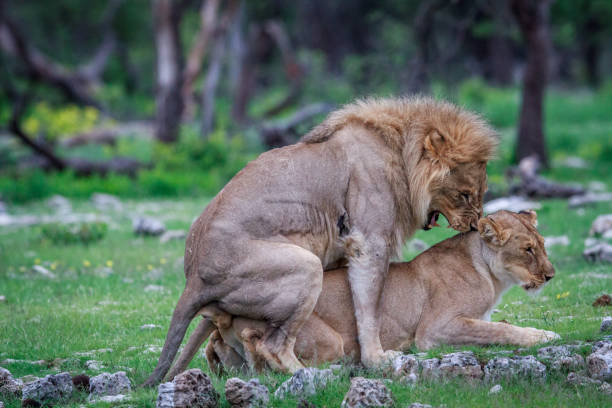 Animal Sex Mating Lion Stock Photos, Pictures & Royalty