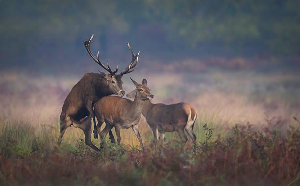 sich paaren red deer - tierpenis stock-fotos und bilder