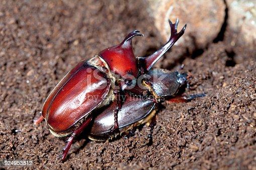 Mating Rhinoceros beetles