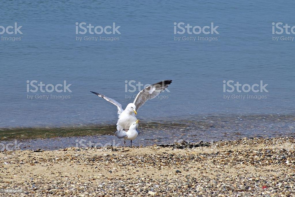 Mating Seagulls royalty-free stock photo