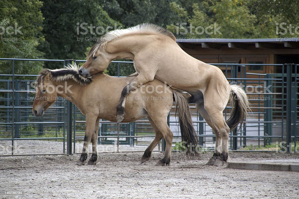 mating season in zoo stock photo