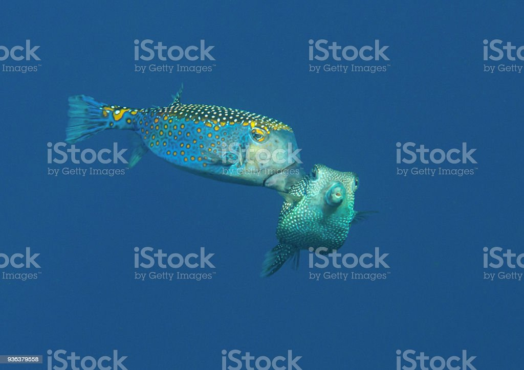 Mating spotted boxfish  male and female in the water  of Bali stock photo