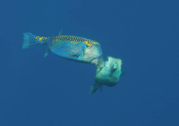 Paarung Kofferfisch männlich und weiblich in das Wasser des Bali entdeckt – Foto