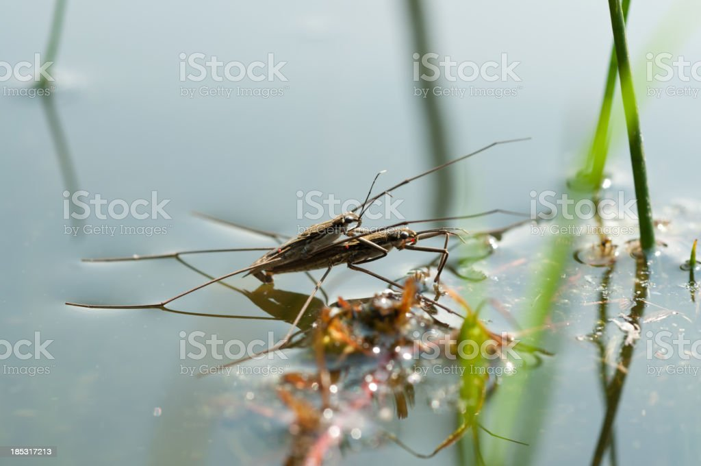 Mating water strider stock photo