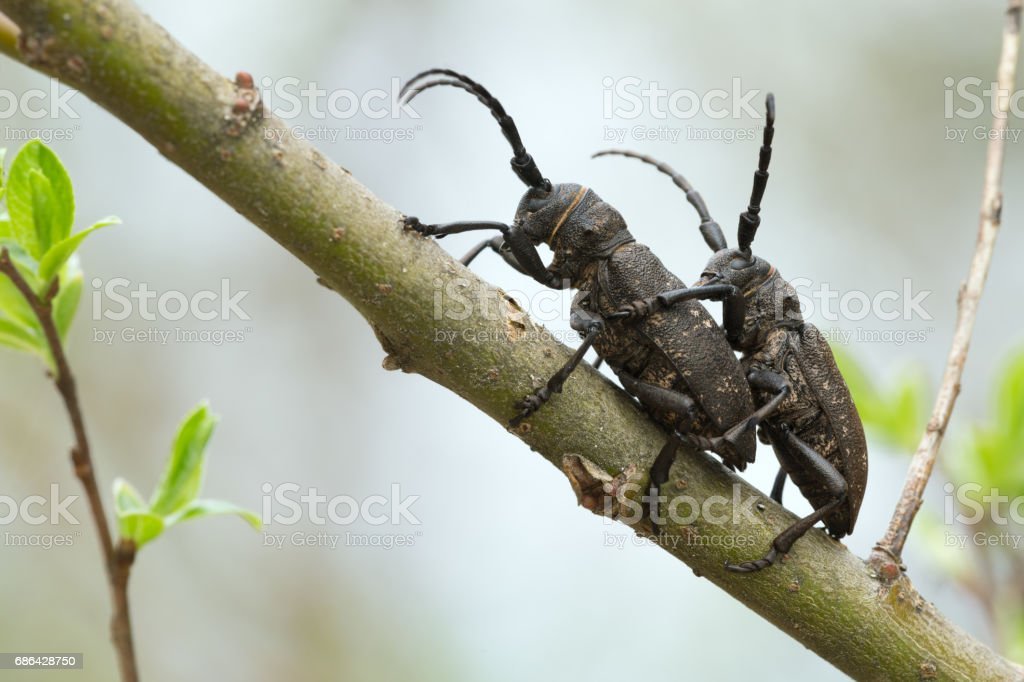 Mating weaver beetles, lamia textor on willow twig stock photo