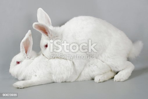 Mating White Rabbits Stock Photo  More Pictures Of Adult  Istock-1460