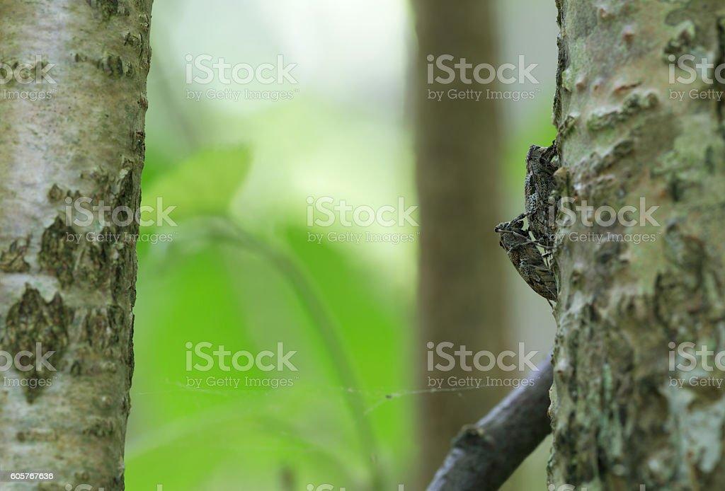 Mating white-clouded longhorn beetle, Mesosa nebulosa on hazel wood stock photo