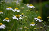 flower, daisy, nature, flowers, white, green, summer, field, meadow, grass, plant, yellow, camomile, spring, daisies, garden, flora, blossom, chamomile, beauty, beautiful, wild, bloom, floral, outdoors, matricaria, chamomilla, center, petal, homeopathy, medicine, cosmetic, bio, herb
