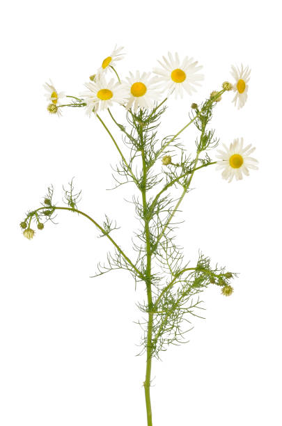 matricaria chamomilla flores - planta de manzanilla fotografías e imágenes de stock