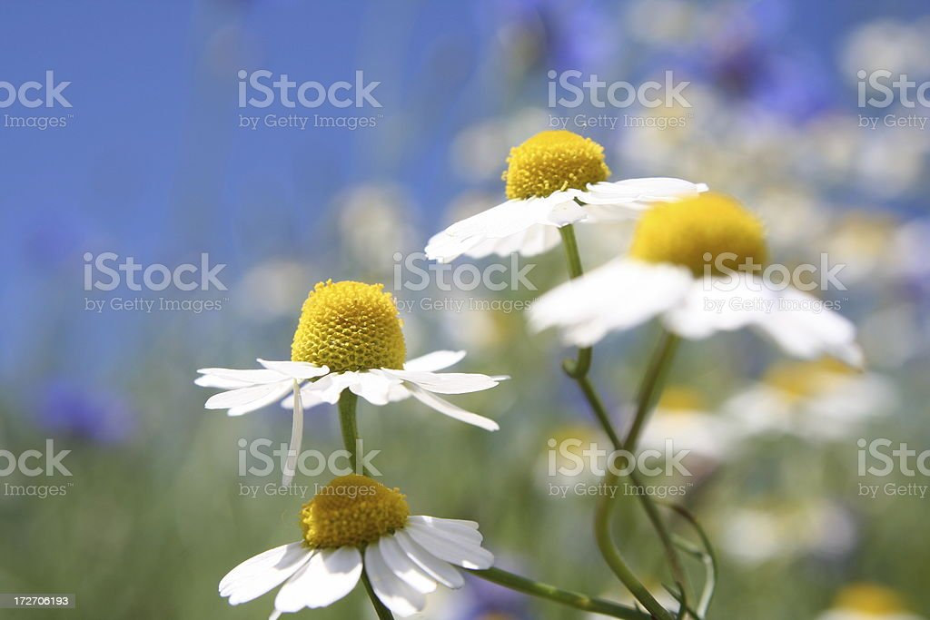 Matricaria recutita Chamomile royalty-free stock photo