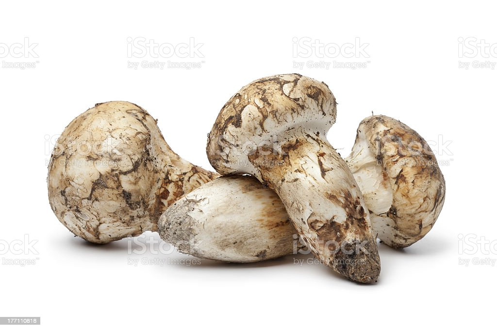 Matsutake mushrooms stock photo