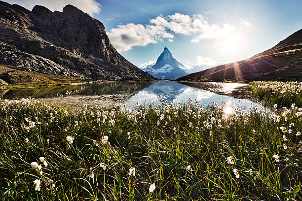 Matterhorn and flowers Matterhorn reflected in Riffelsee behind white backlit flowers zermatt stock pictures, royalty-free photos & images