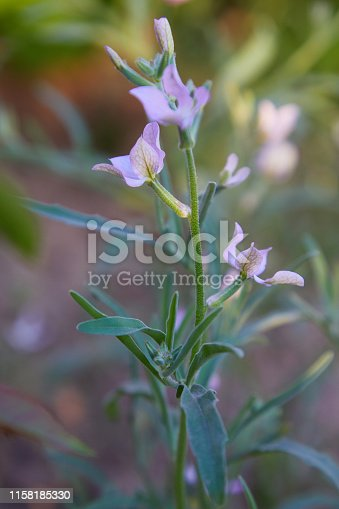 Night Scented Stock, Matthiola longipetala fragrant flower. Flowering plant in the genus Matthiola flowers blooming in the spring garden