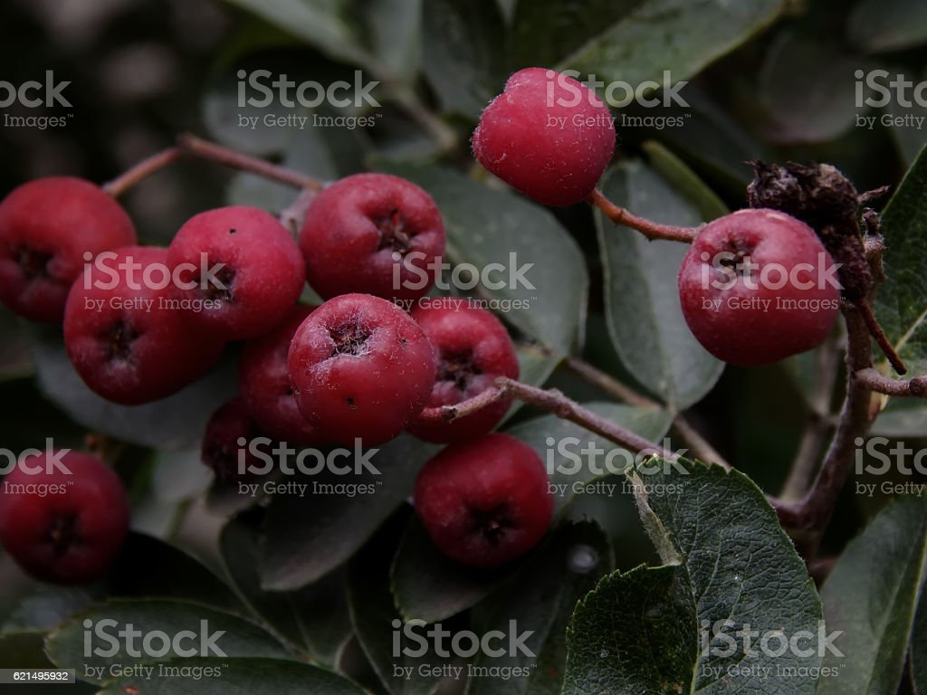 Maturation of black mountain ash on a branch close-up photo libre de droits