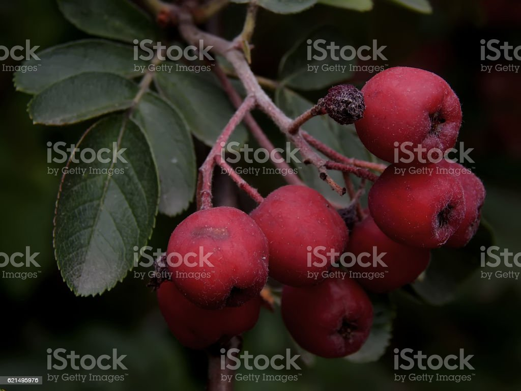 Maturation of black mountain ash on a branch close-up foto stock royalty-free