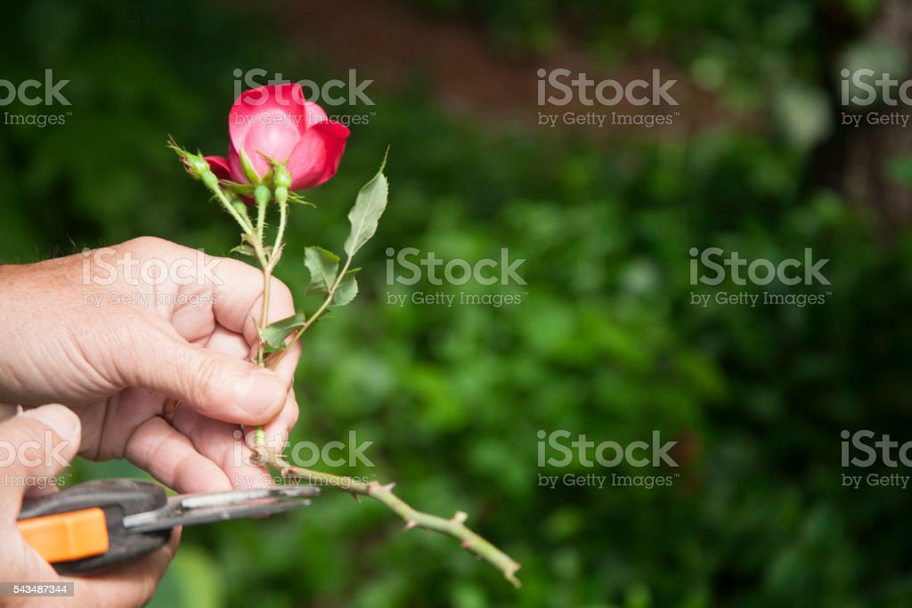 Mature Adult Gardening Trimming Rose Flower Stock Photo Download