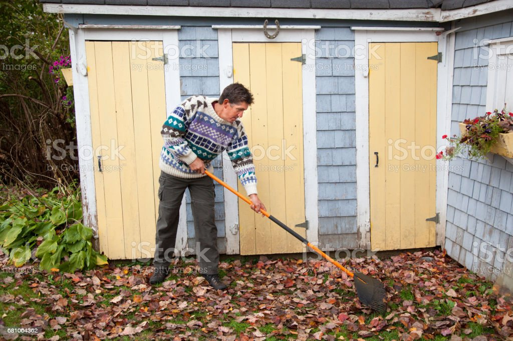 mature adult man in colourful sweater clears up leaves in back yard in autumn royalty-free stock photo
