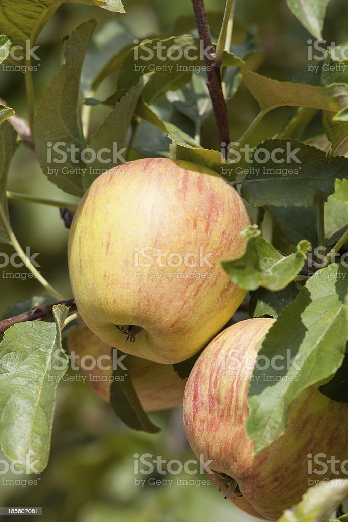 mature apples royalty-free stock photo