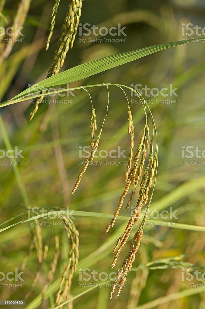 Mature Asian rice plan royalty-free stock photo