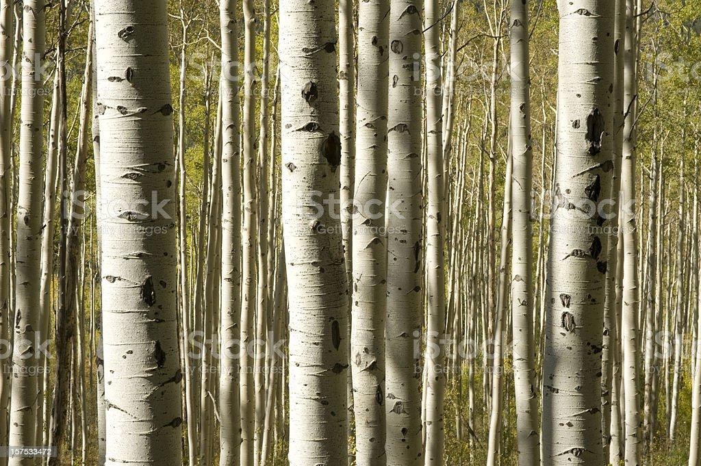 Mature aspen tree trunks during the fall season royalty-free stock photo